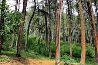 hutan pinus puntang