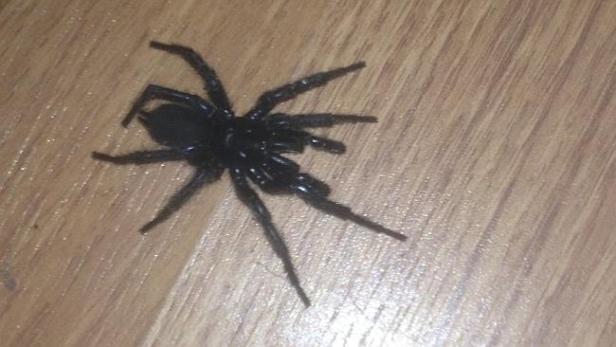 แมงมุมใยกรวย หรือ funnel-web spider