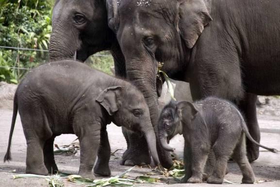 พลายลูกชาย, พลายปาฏิหาริย์, พังพรทิพย์และพังแตงโมถูกขึ้นบัญชีย้ายออกจาก Taronga Zoo ถ่ายและอนุญาตให้เผยแพร่โดย  Lorida Taylor