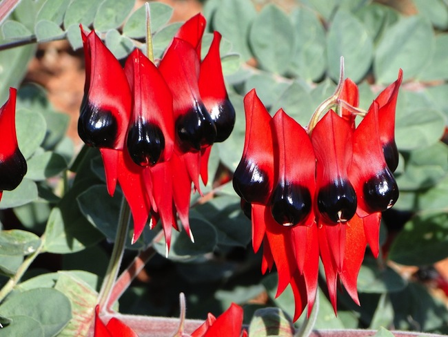 Sturt's Desert Pea : ภาพจาก nationalgeographic.com.au