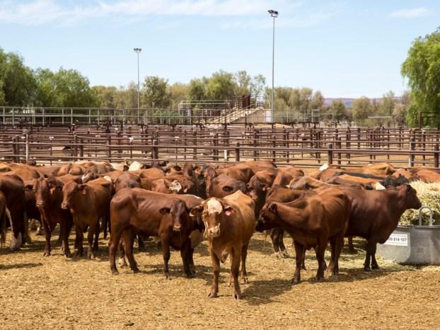 ฟาร์มเลี้ยงวัวในออสเตรเลีย ภาพจากสำนักข่าว SBS