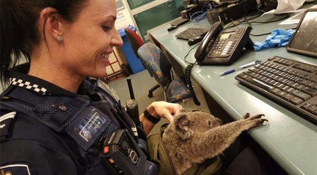 ตำรวจหญิงกำลังเล่นกับ Alfred ที่วอชเฮาส์ในระหว่างรอเจ้าหน้าที่ RSPCA มารับไปดูแล : ภาพจากสำนักงานตำรวจรัฐควีนสแลนด์