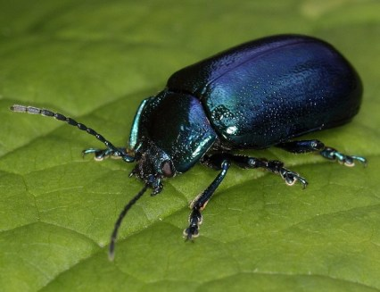 jinn-in-a-bottle-beetle