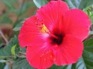 jinn-in-a-bottle-hibiscus