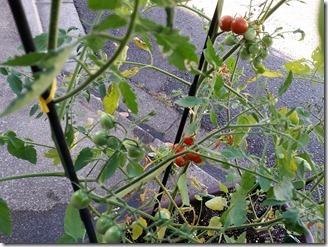 2018-07-31-tomato (4)