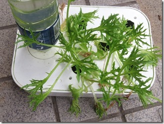 Handsome-green-lettuce (1)