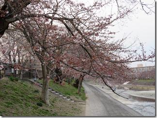 akutagawamumezakuradoori (8)