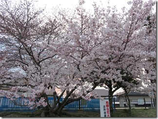 akutagawamumezakuradoori (9)