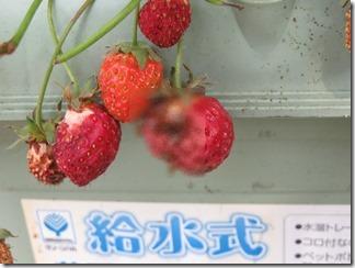 itigohouti (6)