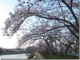 nagaokatenmanguu-sakura-raitoappu (11)