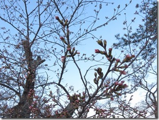 nagaokatenmanguu-sakura-raitoappu (14)