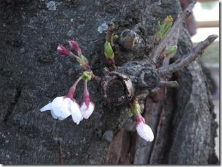 nagaokatenmanguu-sakura-raitoappu (31)