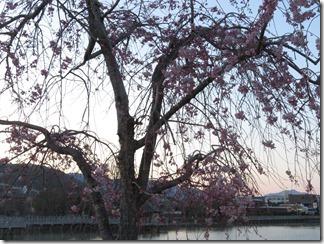 nagaokatenmanguu-sakura-raitoappu (8)