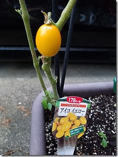 natuyasai-tomato-pi-man-manganjitougarasi-2020-06-26 19.09.48 (4)