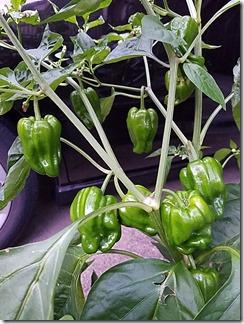 natuyasai-tomato-pi-man-manganjitougarasi-2020-06-26 19.09.48 (5)