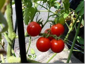 tomato-2018-08-02 (1)