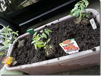 tomatonae-kateisaien (13)