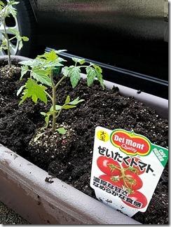 tomatonae-kateisaien (15)