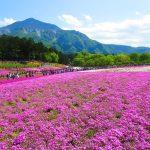 秩父にある羊山公園の芝桜