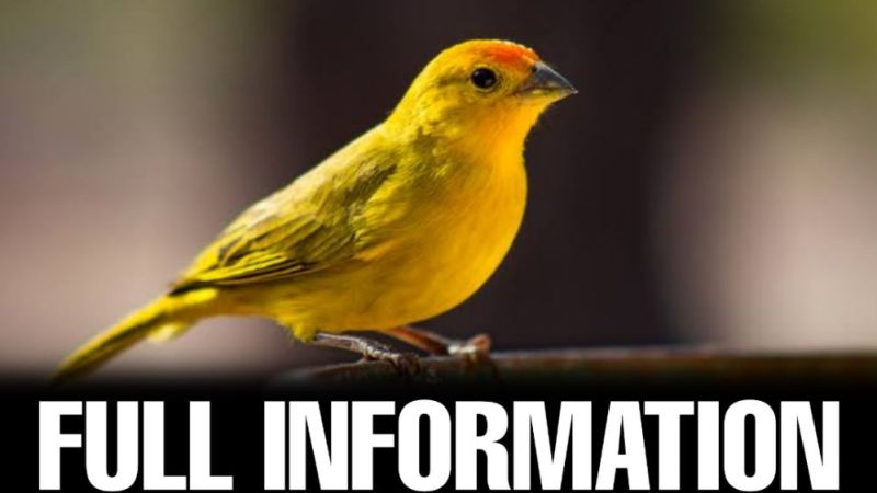 Canary Bird Information in Hindi