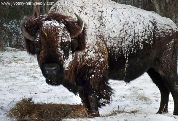 Американский бизон - Животный мир