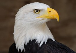 cropped-bald_eagle_profile_portrait_21.jpg