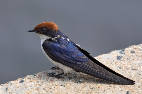 Birds Wire Tailed Swallow Kruger 6758 LO lo