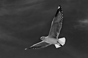 Seagull 1020 BW LO