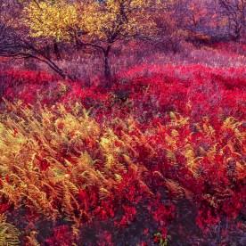 Ferns and Blueberries — Dolly Sods Wilderness, WV © jj raia