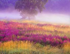 Loosestrife and Fog - Troy Meadow, NJ © jj raia