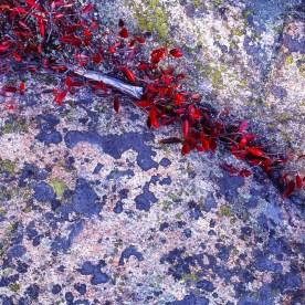 Huckleberries and Lichen - Acadia National Park, ME © jj raia