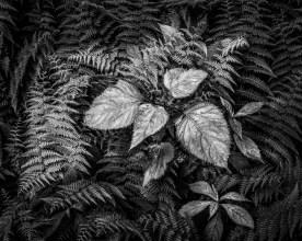 Sunlit Ferns —Roan Mountain, NC © jj raia