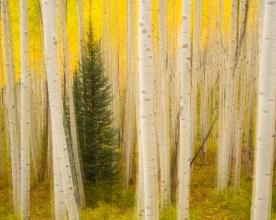 Aspen Blur No. 2, Maroon Bells Wilderness, CO © jj raia