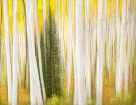 Aspen Grove and Fir, White River National Forest, CO © jj raia