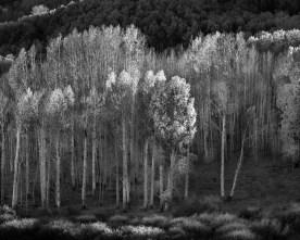 Aspen Hillside - Boulder Mtn. - Dixie National Forest, UT © jj raia