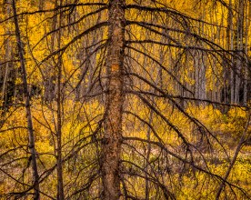 Withered Pine — Rio Grand National Forest, CO © jj raia
