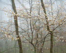 Serviceberry in Spring Bud - Blue Ridge Parkway, NC — © jj raia