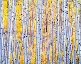 Aspen Grove — Dixie National Forest, UT © jj raia