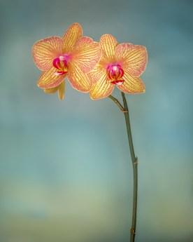 Orchid Variation © jj raia