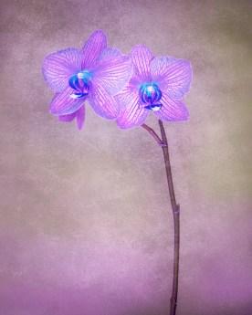 Orchid Variation No. 4 © jj raia