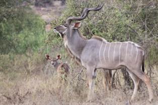 Kudu & Baby Kudu