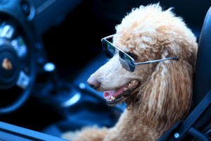 On porsches, poodles and the truth about writing …
