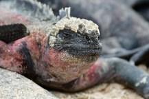 Celebrity Xpedition, XP, Galapagos, Galapagos Islands, Wildlife, animals, iguana