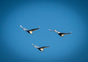 A swan fly-by