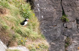 Puffins on the northern coast