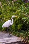 Met a snow white egret in the Morikami Gardens
