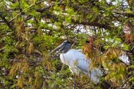 Ugly Wood Stork