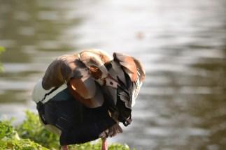 Itchy bird