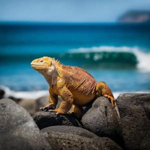 orange iguana standing on rocks