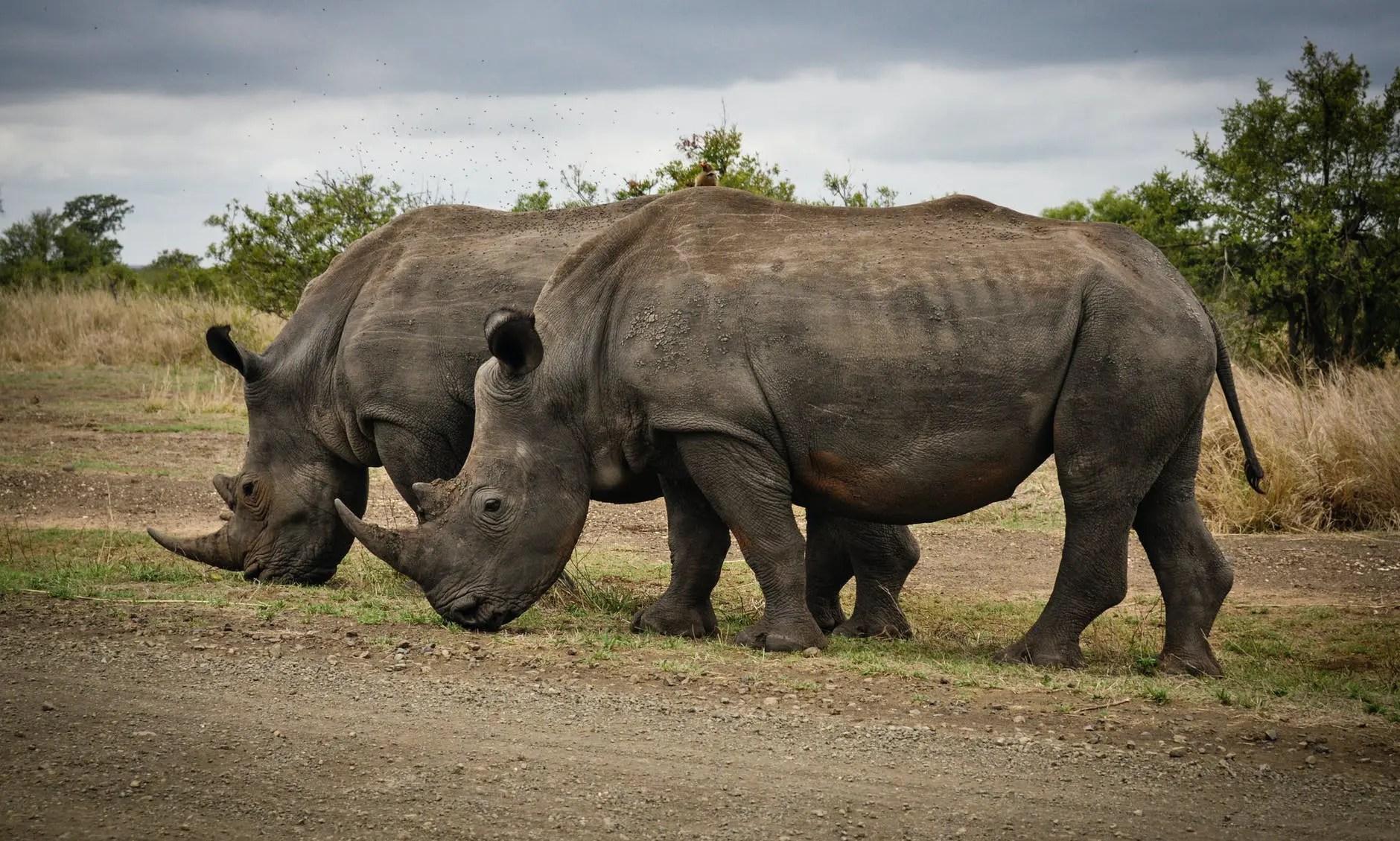 two rhino on gray field